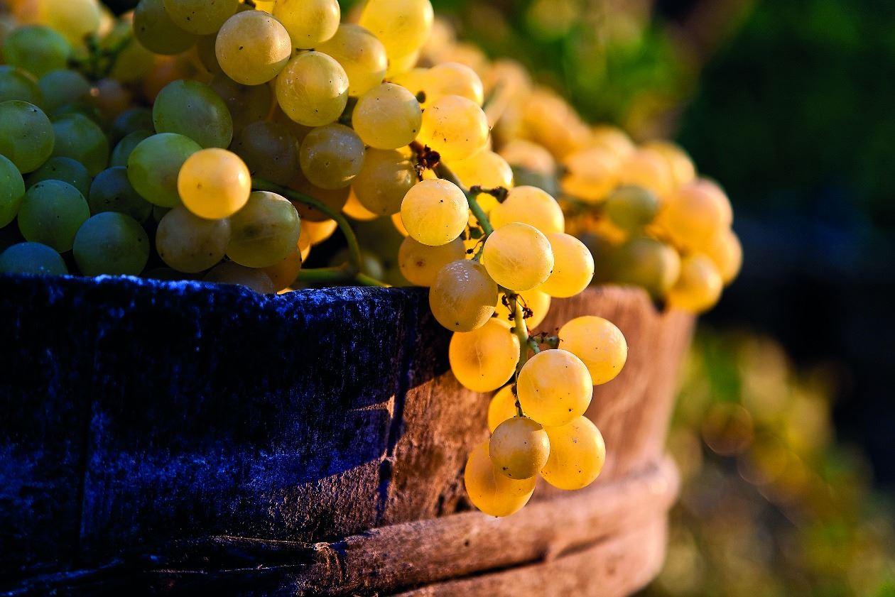Uva di Ischia